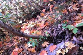 ハウチワカエデの落ち葉