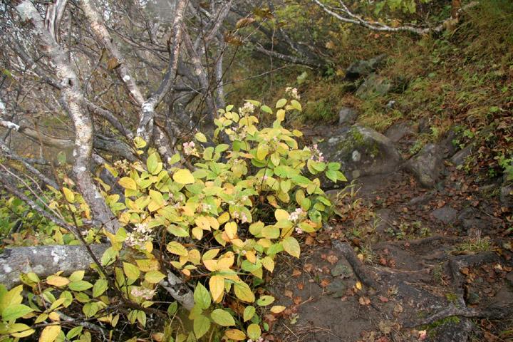 ノリウツギの花と紅葉